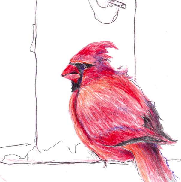 My sketch of a cardinal